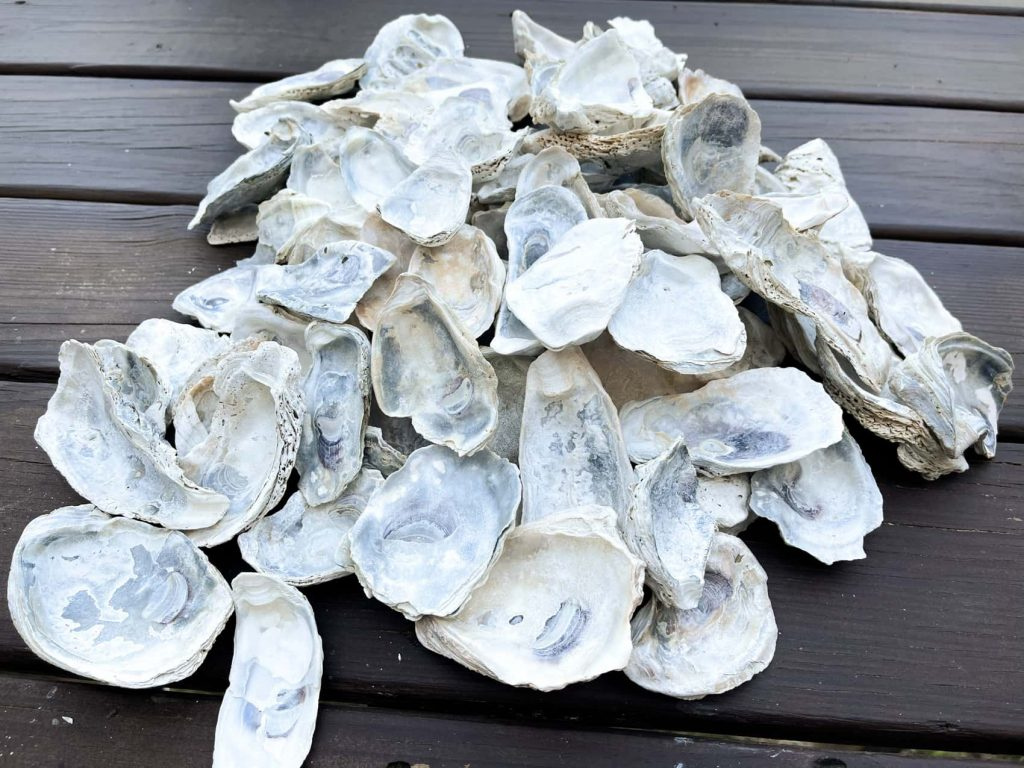 clean white oyster shells for crafts
