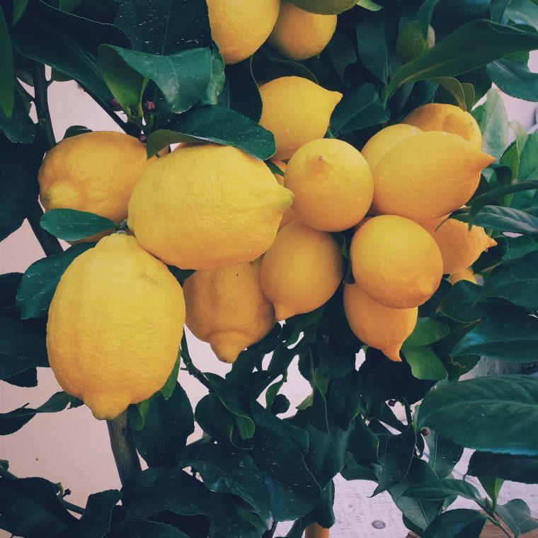 protect lemon trees from birds