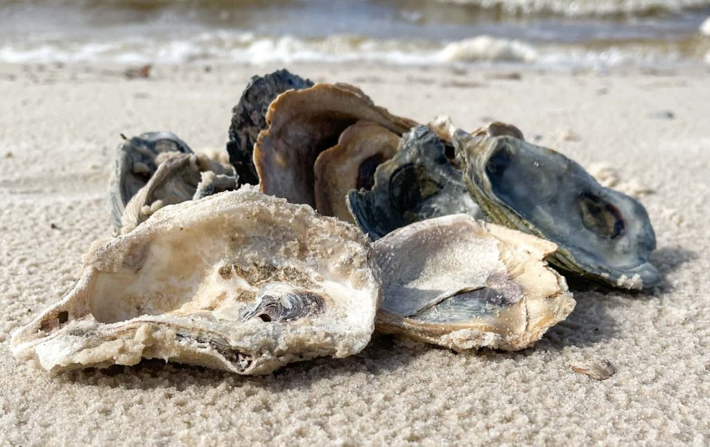 oyster shells on the Mississippi beach
